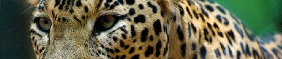 leopard-dezinerfolio