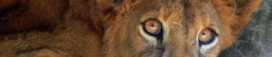 lion-cub-giidono